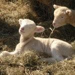 Dorset lambs