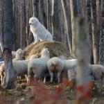 katie_sheep_01